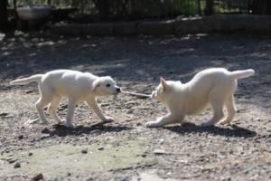 White-Shepherd-Puppies-BTWW-Spartans-06112019-040