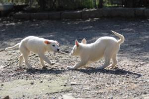 White-Shepherd-Puppies-BTWW-Spartans-06112019-041