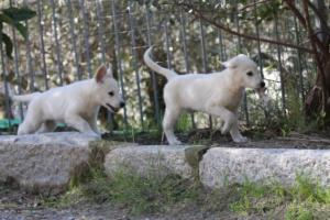 White-Shepherd-Puppies-BTWW-Spartans-06112019-042