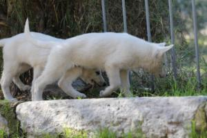 White-Shepherd-Puppies-BTWW-Spartans-06112019-043