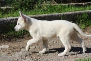 White-Shepherd-Puppies-BTWW-Spartans-06112019-044