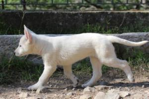 White-Shepherd-Puppies-BTWW-Spartans-06112019-045