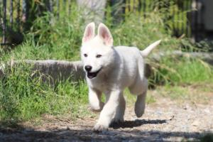 White-Shepherd-Puppies-BTWW-Spartans-06112019-047