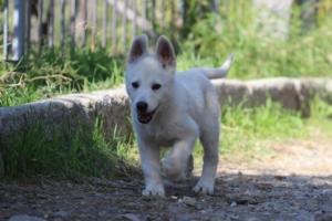 White-Shepherd-Puppies-BTWW-Spartans-06112019-048
