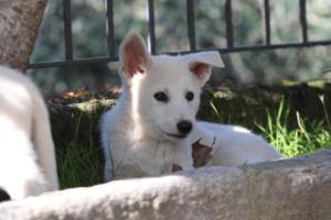 White-Shepherd-Puppies-BTWW-Spartans-06112019-049