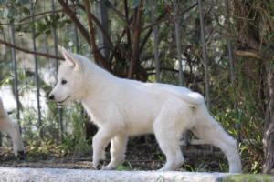 White-Shepherd-Puppies-BTWW-Spartans-06112019-050
