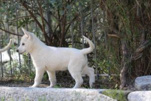 White-Shepherd-Puppies-BTWW-Spartans-06112019-051