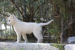 White-Shepherd-Puppies-BTWW-Spartans-06112019-052