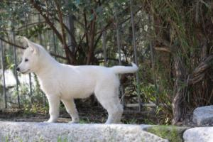 White-Shepherd-Puppies-BTWW-Spartans-06112019-053