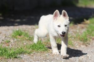 White-Shepherd-Puppies-BTWW-Spartans-06112019-054