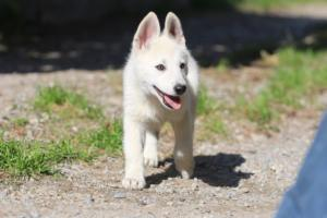 White-Shepherd-Puppies-BTWW-Spartans-06112019-055