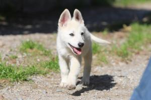 White-Shepherd-Puppies-BTWW-Spartans-06112019-056