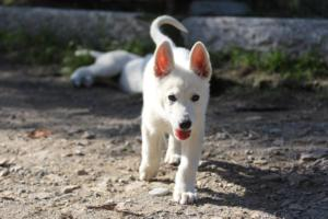 White-Shepherd-Puppies-BTWW-Spartans-06112019-057
