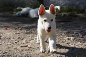 White-Shepherd-Puppies-BTWW-Spartans-06112019-059