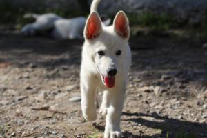 White-Shepherd-Puppies-BTWW-Spartans-06112019-060