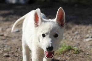 White-Shepherd-Puppies-BTWW-Spartans-06112019-061