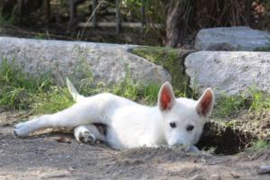 White-Shepherd-Puppies-BTWW-Spartans-06112019-062