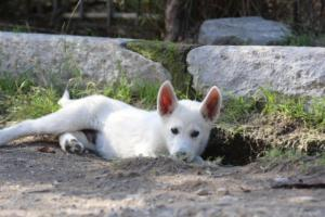 White-Shepherd-Puppies-BTWW-Spartans-06112019-063