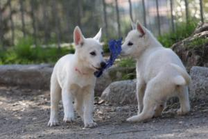 White-Shepherd-Puppies-BTWW-Spartans-06112019-066