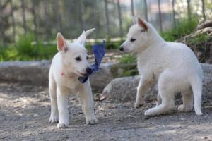 White-Shepherd-Puppies-BTWW-Spartans-06112019-067