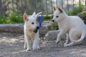 White-Shepherd-Puppies-BTWW-Spartans-06112019-068