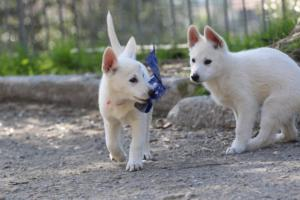 White-Shepherd-Puppies-BTWW-Spartans-06112019-069