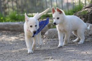 White-Shepherd-Puppies-BTWW-Spartans-06112019-070