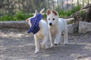 White-Shepherd-Puppies-BTWW-Spartans-06112019-071