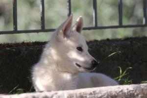 White-Shepherd-Puppies-BTWW-Spartans-06112019-072