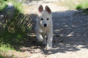 White-Shepherd-Puppies-BTWW-Spartans-06112019-073