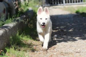 White-Shepherd-Puppies-BTWW-Spartans-06112019-074