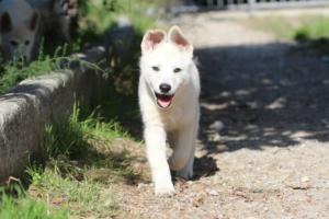 White-Shepherd-Puppies-BTWW-Spartans-06112019-075