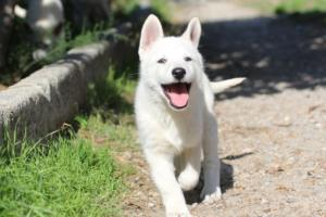 White-Shepherd-Puppies-BTWW-Spartans-06112019-076