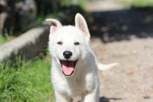 White-Shepherd-Puppies-BTWW-Spartans-06112019-077