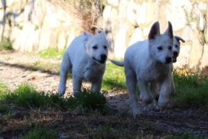 White-Shepherd-Puppies-BTWW-Sparta-03122019-001