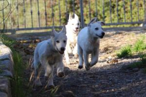 White-Shepherd-Puppies-BTWW-Sparta-03122019-002