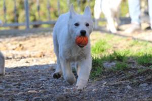 White-Shepherd-Puppies-BTWW-Sparta-03122019-003