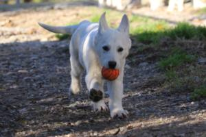 White-Shepherd-Puppies-BTWW-Sparta-03122019-004