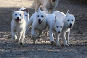 White-Shepherd-Puppies-BTWW-Sparta-03122019-005