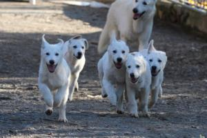 White-Shepherd-Puppies-BTWW-Sparta-03122019-006