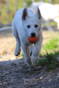 White-Shepherd-Puppies-BTWW-Sparta-03122019-007