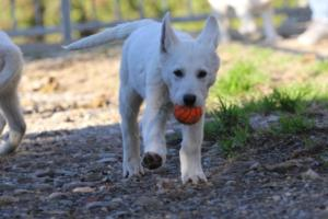 White-Shepherd-Puppies-BTWW-Sparta-03122019-008
