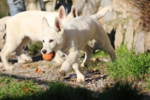 White-Shepherd-Puppies-BTWW-Sparta-03122019-009