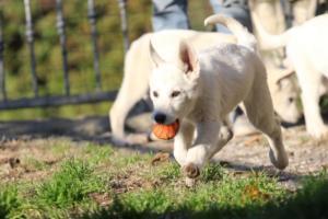 White-Shepherd-Puppies-BTWW-Sparta-03122019-010