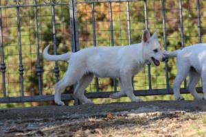 White-Shepherd-Puppies-BTWW-Sparta-03122019-011