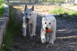 White-Shepherd-Puppies-BTWW-Sparta-03122019-012