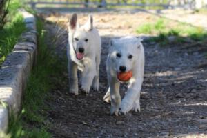 White-Shepherd-Puppies-BTWW-Sparta-03122019-013