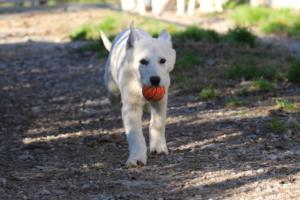 White-Shepherd-Puppies-BTWW-Sparta-03122019-014