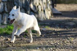 White-Shepherd-Puppies-BTWW-Sparta-03122019-015