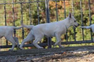 White-Shepherd-Puppies-BTWW-Sparta-03122019-016